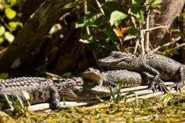 Le royaume des alligators